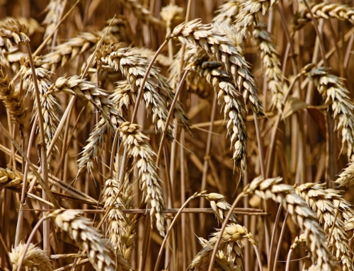 Poland wheat production policy